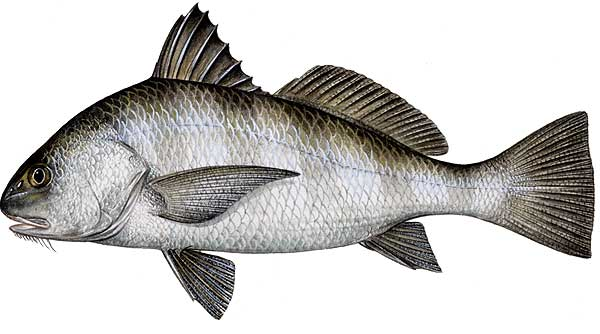 New jersey 39 s best online source for for Black drum fishing